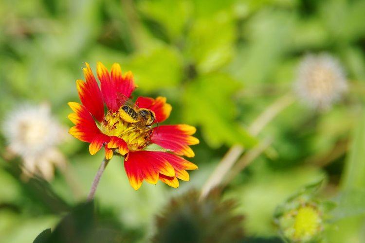 Grassland Bee