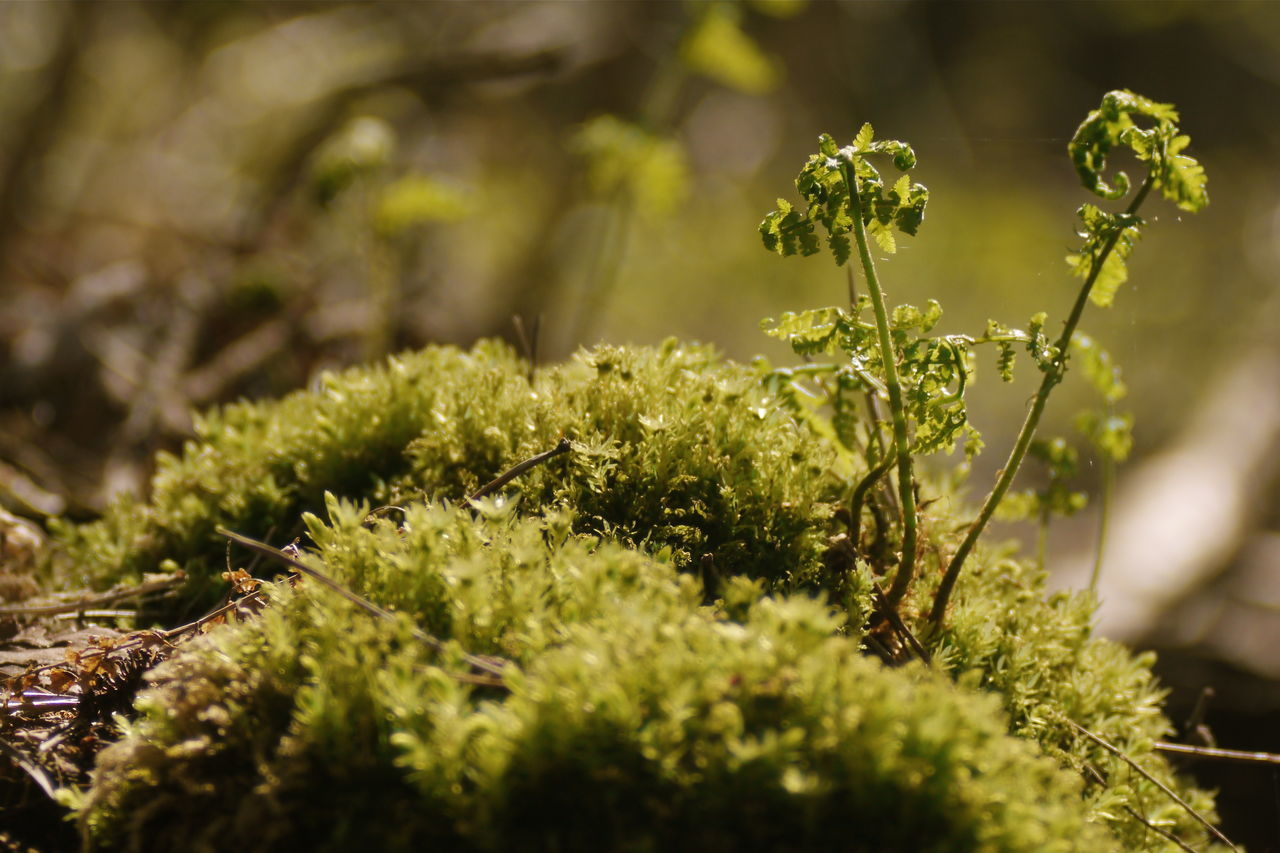 growth, nature, plant, selective focus, beauty in nature, green color, no people, outdoors, day, close-up, freshness