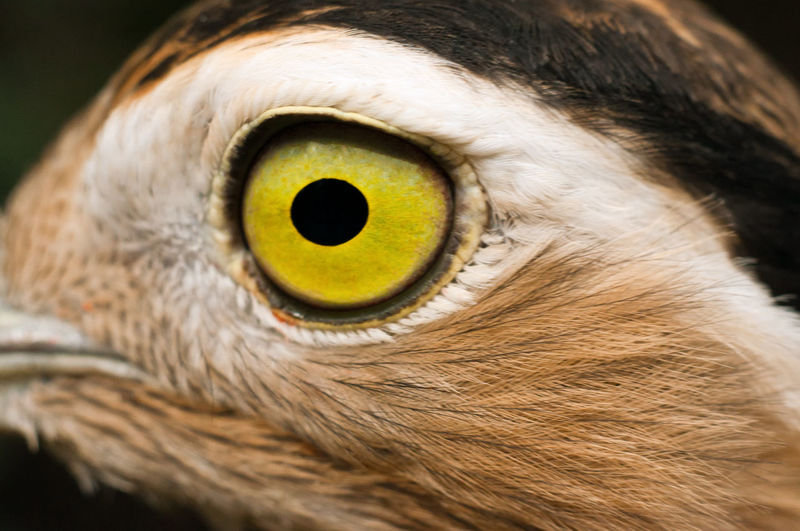 Close-Up Of Double-Striped Thick-Knee Bird