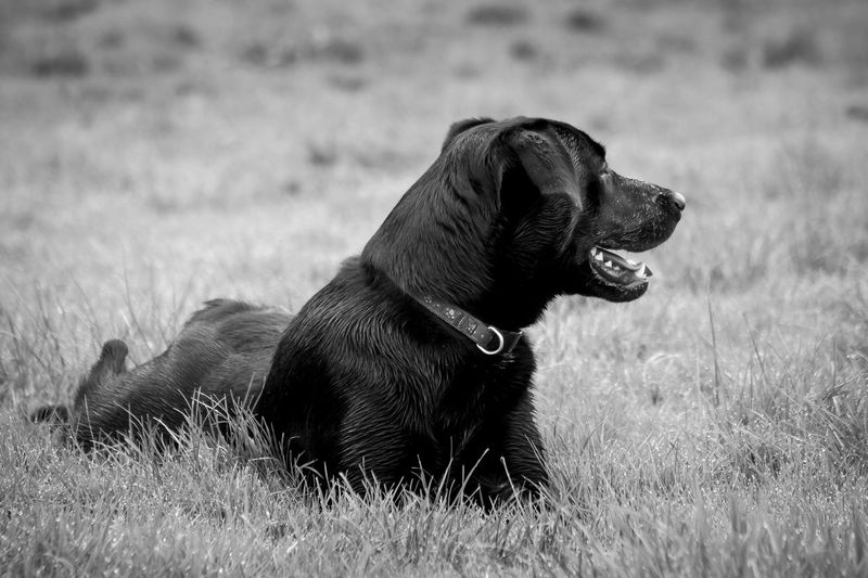 Young black Labrador retriever laying in the dew covered grass.... puffed out.. time for a rest. Black and white portrait style Pet Photography  Pet Portraits Animal Themes Blackandwhite Photography Close-up Day Dog Domestic Animals Field Grass Mammal Nature No People One Animal Outdoors Pet Portraiture Pets Sitting