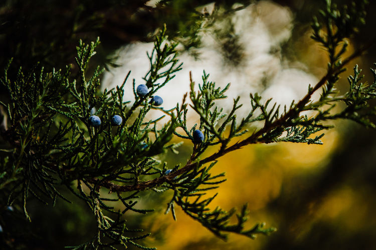 Plant Growth Beauty In Nature Tree No People Nature Green Color Close-up Branch Focus On Foreground Selective Focus Day Leaf Plant Part Tranquility Outdoors Pine Tree Freshness Sunlight Coniferous Tree