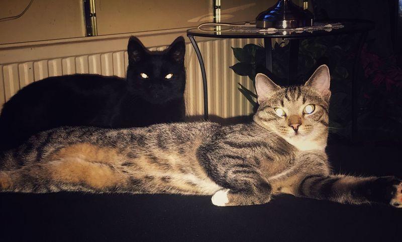 Cat Pets Domestic Domestic Cat Domestic Animals Feline Mammal Animal No People