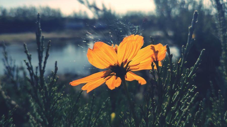 Close-up of orange cosmos flower on field