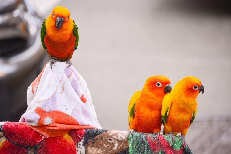 Sun parakeets perching on fabric