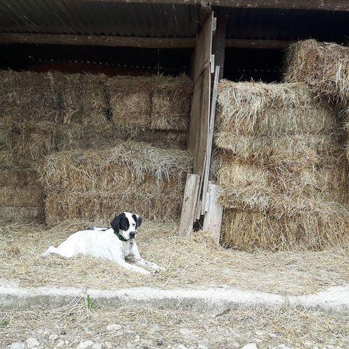 Lord of the hay bales Animal Animal Themes Animals Barn Barns Bauernhof Dog Dogs Farm Farmlife Hay Haybales  Heu Heuballen Hund Hunde No People Pets Scheune Scheunen Tiere Wachhund Watchdog Watchdogs