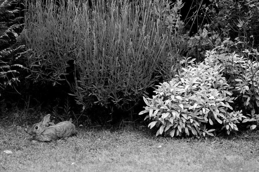 Bush League Rabbit Plant Nature Day Grass Land Growth Flower One Animal Animal Animal Themes Mammal Flowering Plant Field Outdoors Tree Vertebrate Rabbit Blackandwhite Black And White