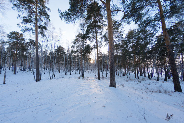 Trees On Snow Covered Forest
