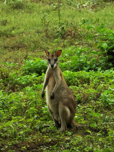 Kangaroo, Loc : Wasur National Park Nature Fauna Nature Photography Beautiful Beauty In Nature Portrait Full Length Field Looking At Camera Young Animal Animal Themes Grass Green Color Kangaroo Wildlife Wild Animal