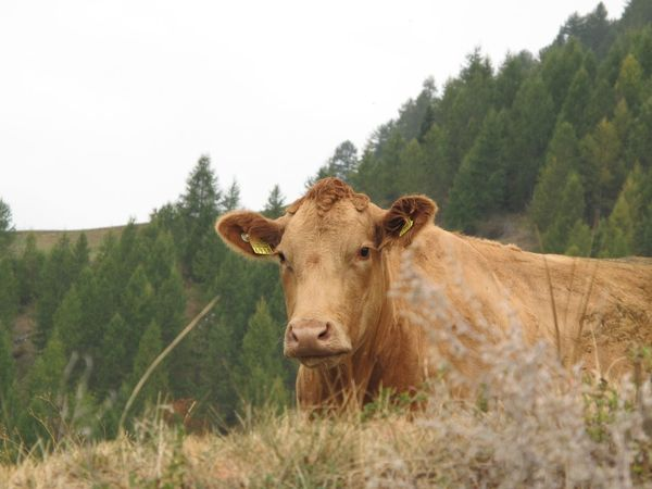 Animal Themes Cattle Clear Sky Close-up Cow Day Domestic Animals Domestic Cattle Domesticated Animal Tag Farm Animal Field Grass Growth Landscape Livestock Mammal Nature No People One Animal Outdoors Sky Standing Tree
