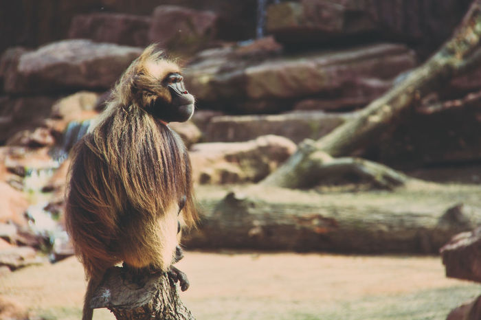 lonesome ranger Alone Animal Head  Animal Themes Animal Wildlife Ape Baboon Beauty In Nature Close-up Day Focus On Foreground Guard Guardian Keeper Loneliness Mammal Nature No People Outdoors Portrait Security Guard Selective Focus Wildlife Zoo Telling Stories Differently Fresh On Eyeem