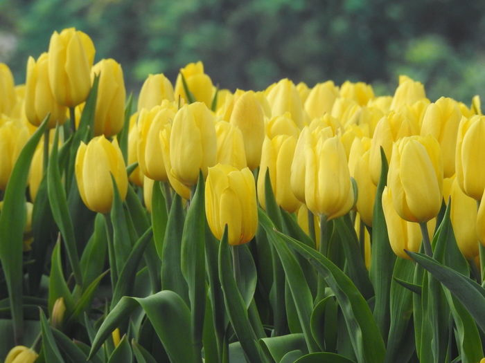 Plant Yellow Flower Flowering Plant Fragility Growth Vulnerability  Beauty In Nature Freshness Field Close-up Petal Tulip Nature Land Inflorescence Day Flower Head No People Green Color Springtime Outdoors Flowerbed Spring