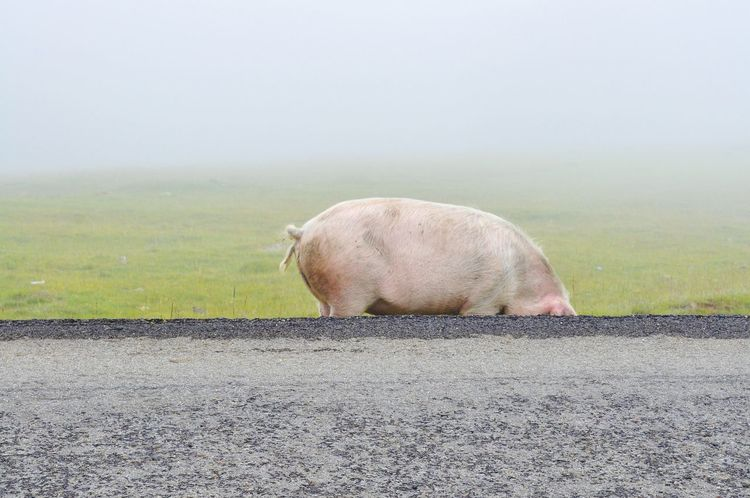Misty Pig Asphalt Jungle Bad Boy  Mist Pig Capture The Moment Rural Animals Pastel Road Roadside Minimalism Taking Photos EyeEm Best Shots EyeEm Animal Lover Hungry Bio Simplicity Pastel Power
