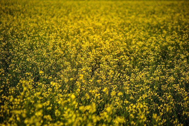 Full frame shot of fresh yellow flower field