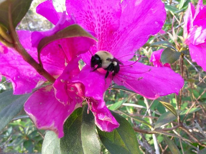 Bumblebee Sweet Nectar Azeleas No Filters Or Effects Nature Beauty In Nature The Right Time At The Right Place Pink Petals Fur Coats Stingers Flying High Art Is Everywhere EyeEm Ready