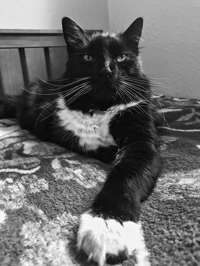 Black and white male cat part Maine Coon laying on bed Pet Photography  Black Ad Black And White Black And White Cat Black And White Portrait Cat Close-up Domestic Domestic Animals Domestic Cat Feline Feline Portraits Looking At Camera Male Cat Mammal No People One Animal Pets Portrait Relaxation Resting Sitting Tomcat Vertebrate Whisker