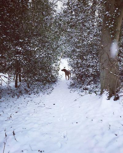 Snow days Fox Red Lab Labrador Pooch Dogs Dogs Of EyeEm Mammal