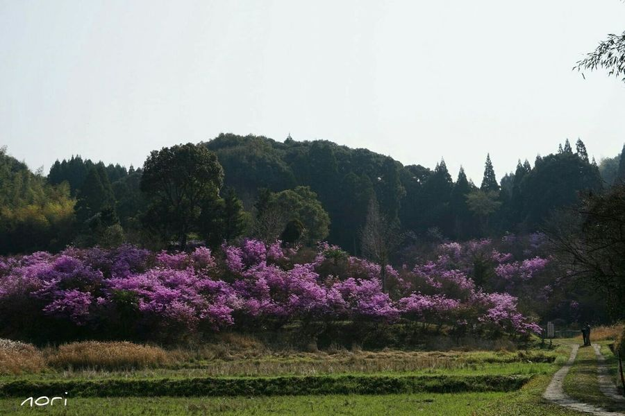 岩ツツジ山、ほぼ満開になりました(^-^ゞ Azalea Pink Flower Purple FlowerEyeEm Nature Lover EyeEm Flower Flower Collection Landscape Kagoshima *CHIE*