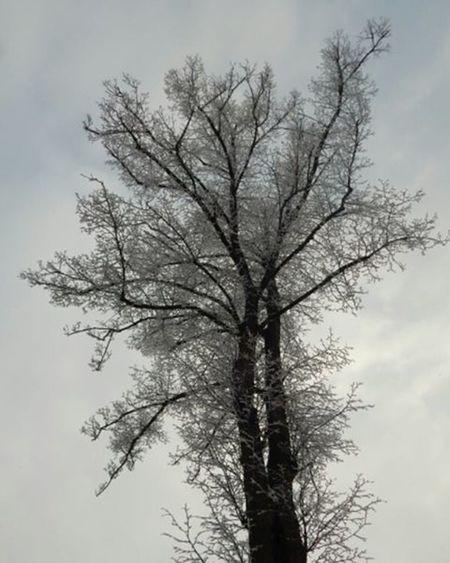 Ziema Winter Winterwonderland Sarma Rime Koks Tree Naturephotography Nature Fotofanatics_nature_ Latvijasskati Latvijasdaba Latvija Latvia Riga Riga Ig_myshot Baltictrend