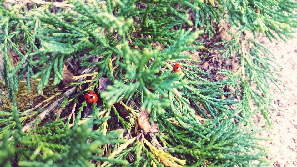 Autumn berries Beauty In Nature Autumn Ladybirds Green And Red Colur Outdoors Plant Insect Animal Themes Animals In The Wild No People Close-up
