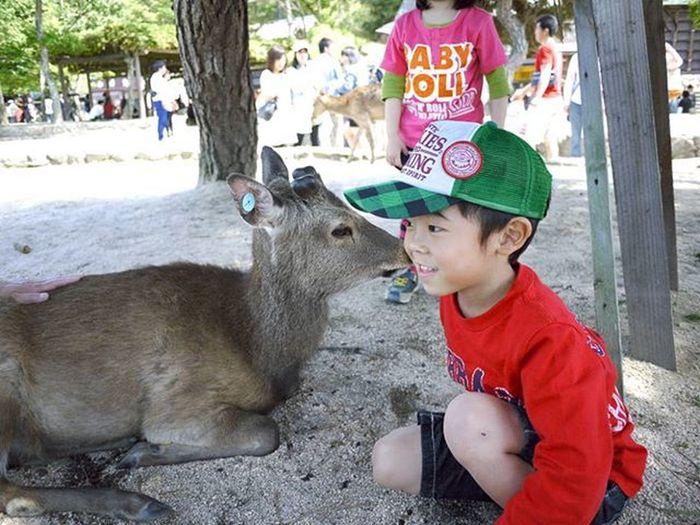 Kinsui01 宮島フォトコン 宮島の思い出 宮島 広島 Hiroshima Miyajima しか 鹿 Deer Lumix Lumixgf2 GF2 パナソニック Panasonic  Panasoniclumix 単焦点レンズ ファインダー越しの私の世界 写真撮ってる人と繋がりたい 写真好きな人と繋がりたい カメラ好きな人と繋がりたい