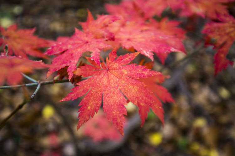 Korea, in the mountain Autumn Autumn Colors Fall Beauty Fall Colors Fallen Leaf Red Autumn Color Autumn🍁🍁🍁 Fall Fall Leaves Fallen Fallen Leaves Maple Maple Leaf Maple Leaves Mapleleaf On The Ground Red Color