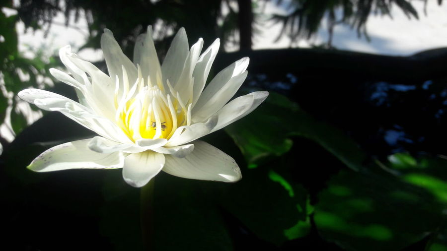 Beauty In Nature Blooming Close-up Day Flower Flower Head Fragility Freshness Growth Leaf Lotus Water Lily Nature No People Outdoors Petal Plant Water Water Lily White Color
