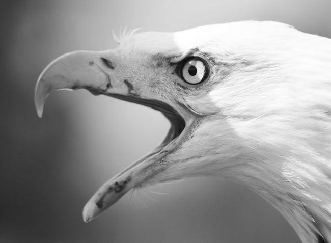 Black And White Bird Photography Black And White Photography Black And White Birds Of Prey Wildlife Photography Birds Of EyeEm  Falconry Display Hunter Close Up Open Beak Bald Eagle Macro Photography Eagle Portrait