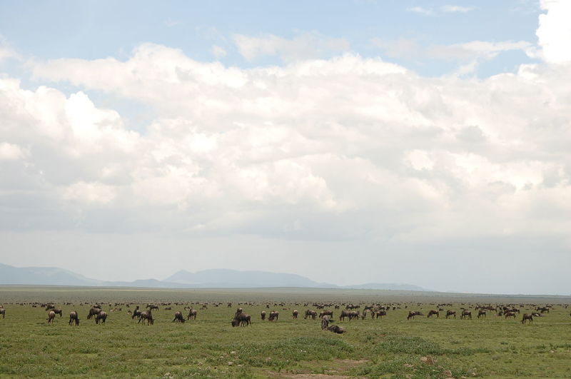 Wildebeests grazing on field against cloudy sky