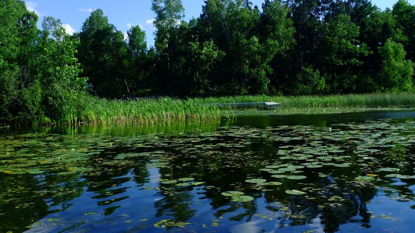 Lake Country Minnesota Beauty In Nature Day Forest Grass Growth Lake Lily Pad Nature No People Outdoors Pequot Lakes Reflection Scenics Tranquility Tree Water