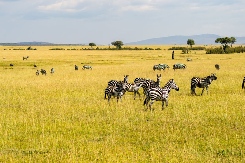 Animal Animals In The Wild Animal Themes Animal Wildlife Group Of Animals Large Group Of Animals Mammal Field Safari Nature Zebra Herbivorous Environment Massai Mara Zebras Zebres  Kenya