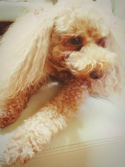 Toy Poodle  Dog Love Family