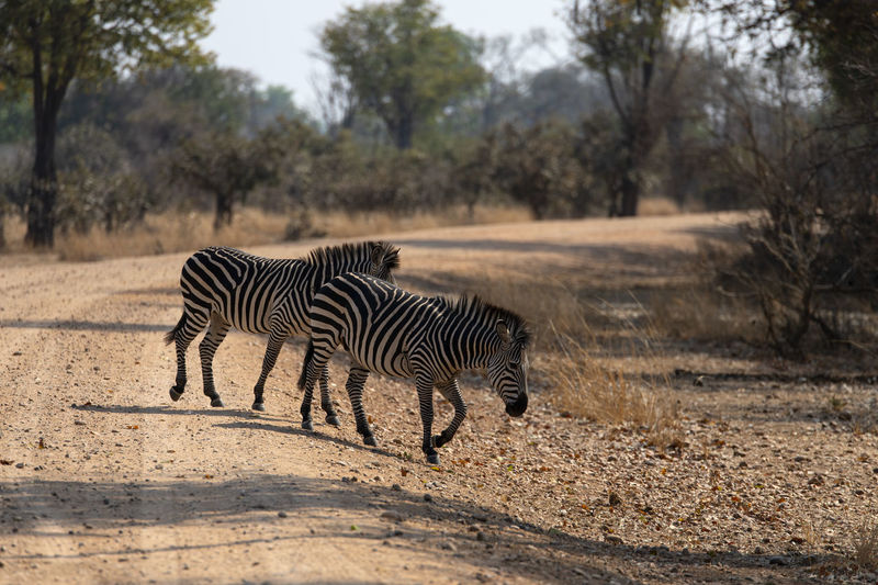 Zebra standing on a land