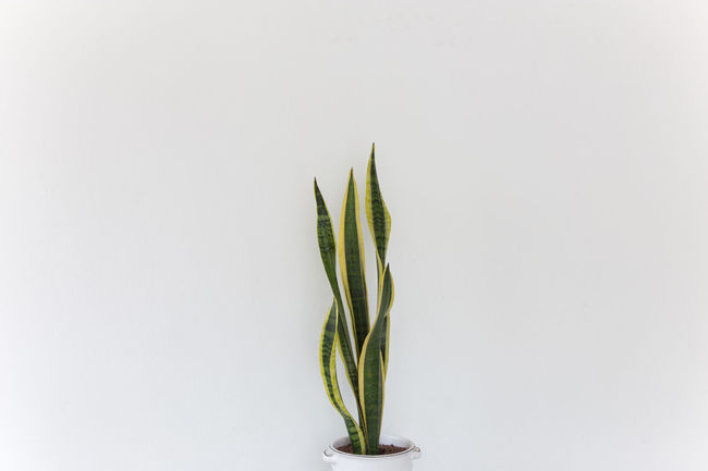 Sansevieria Green Green Color Hanging Out Home Decoration  Natura Natural Nature Close-up Day Food Food And Drink Freshness Green Color Growth Healthy Eating Leaf Nature No People Nuture Plant Pot Studio Shot White Background Yellow