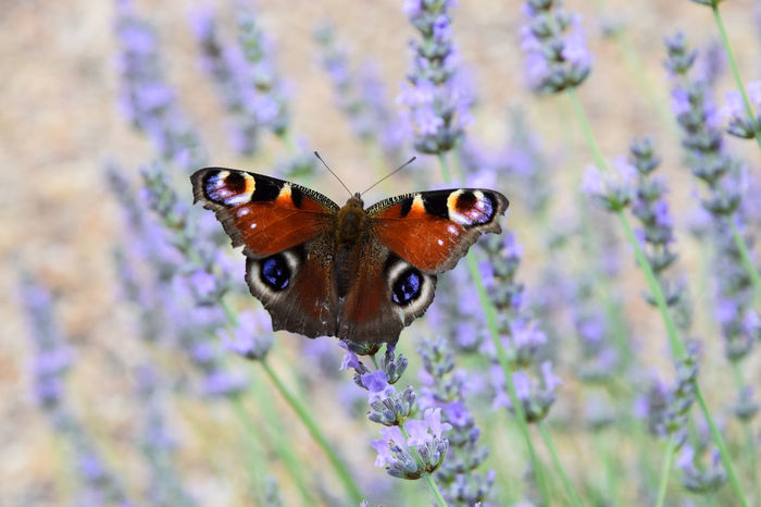 Flowers Nature Garden Spot Beautiful Lavender Red Orange Violet Outdoors Insect Purple Growth Fragility Freshness Beauty In Nature EyeEm Nature Lover Animals In The Wild Garden Flowers Animal Themes One Animal Animal Wildlife Butterfly - Insect European Peacock Butterfly
