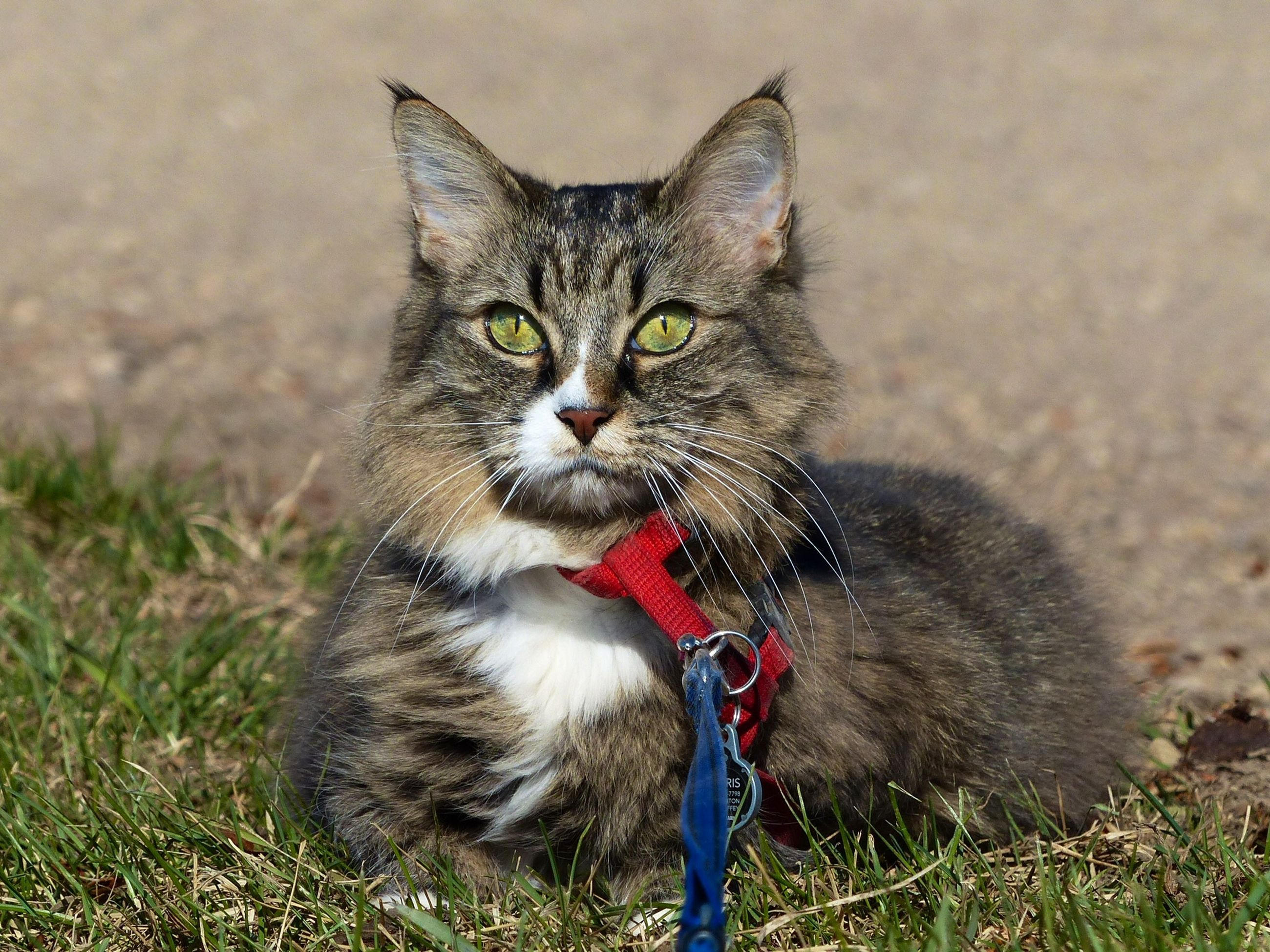 one animal, looking at camera, animal themes, portrait, pets, domestic animals, mammal, domestic cat, no people, outdoors, day, feline, grass, close-up