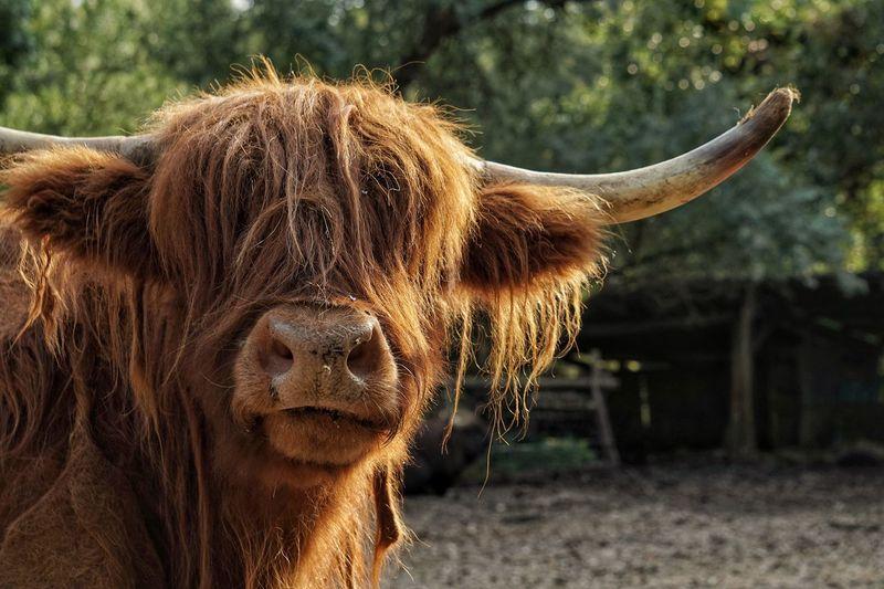 Zoo Animal Orange Brown Beautiful Beautiful Nature Highland Cattle Cant See Nature Beautiful Creature