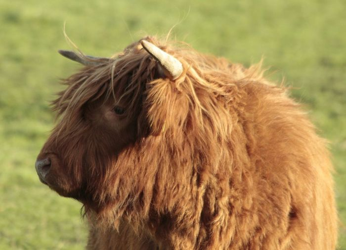 Highland cow standing on grassy field
