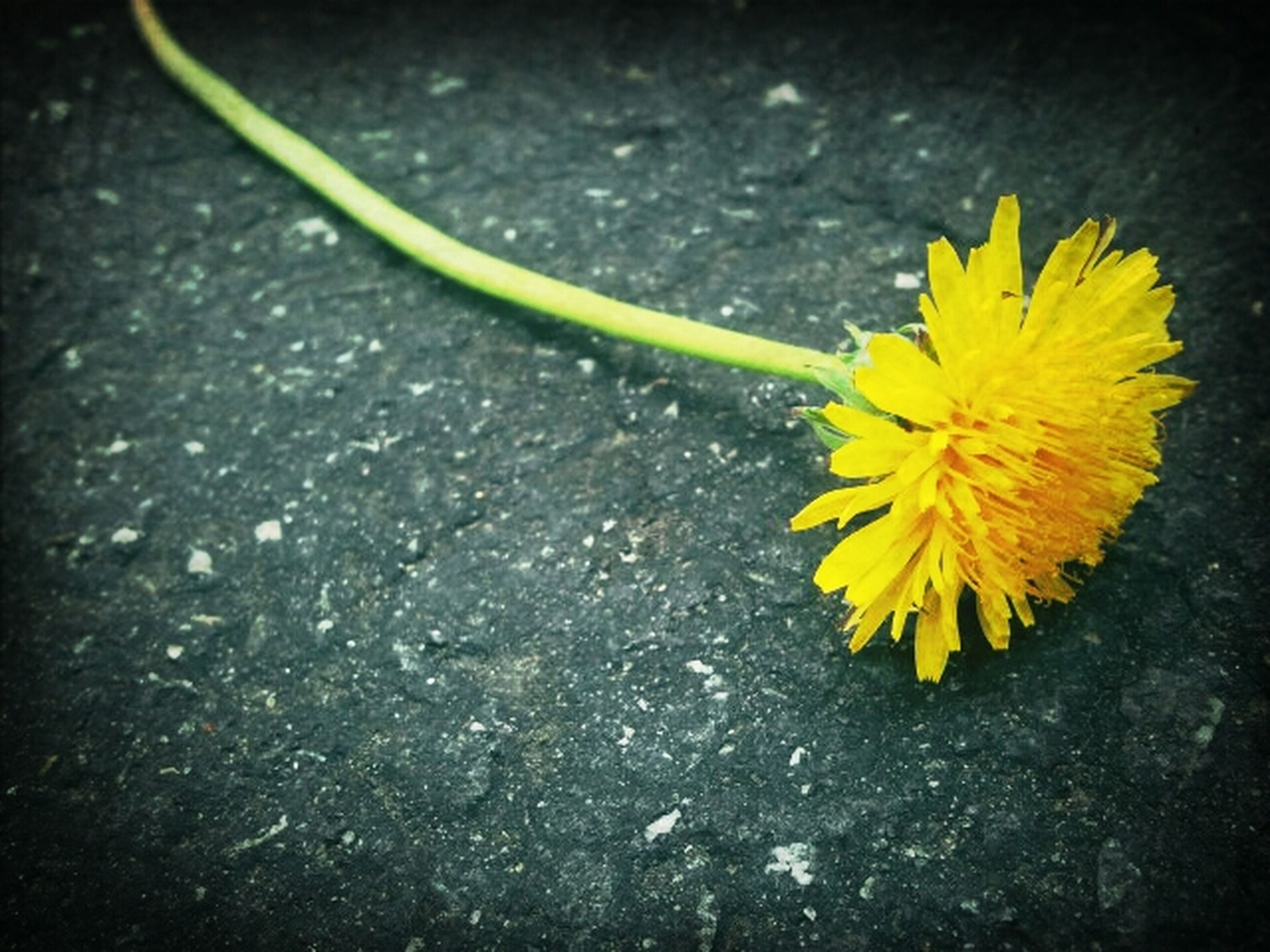 yellow, flower, fragility, petal, flower head, freshness, high angle view, close-up, single flower, nature, beauty in nature, plant, growth, no people, outdoors, day, pollen, leaf, blooming, in bloom