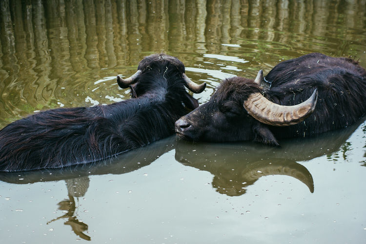 High Angle View Of Buffaloes In Lake