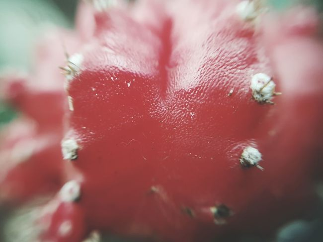 Thorny devil Gymnocalycium Gymnocactus Grafted Cactus Grafted Plant Grafted Hybrid Cactus Ruby Ball Ruby Ball Plant Close-up Macro Macro Beauty Macro Photography Macro_collection Garden Centre Garden Center Cactusporn Cactusplants Cactuslove