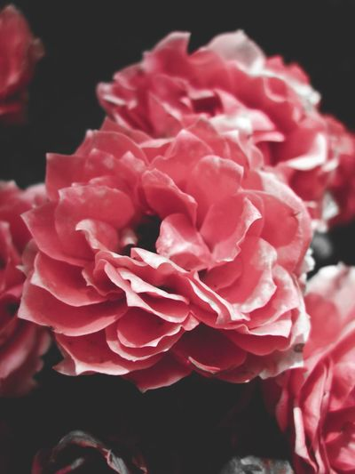 Floral & Fading Flower Petal Pink Color Nature Beauty In Nature Plant Flower Head Blooming Close-up Faded Floral Flora Roses Outdoors Nealnoahphotography Stock Photo Getty Images Peace Mood Moody Black Background