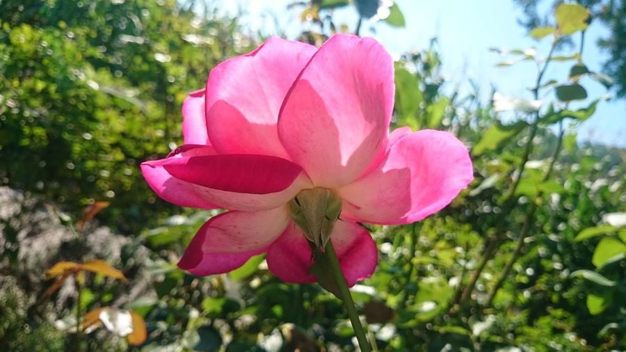 Close-up of pink rose in park