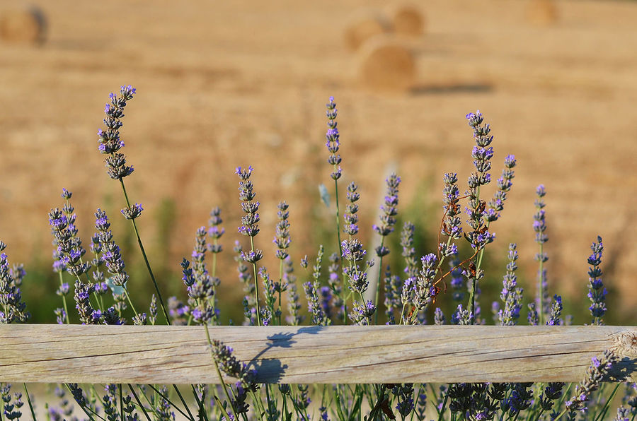 lavender flowers and fence Country Beauty In Nature Blurred Background Countryside Essence Of Summer Fence Flower Focus On Foreground Lavanda Lavender Lavender Flowers Nature No People Outdoors Selective Focus Summer Sunlight Warm Colors Wheat Fields Wood - Material