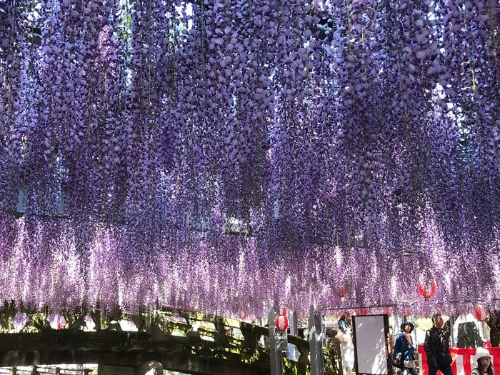 Tree Wisteria Night Purple Low Angle View Hanging Illuminated Celebration Flower Outdoors Large Group Of People Real People Growth Beauty In Nature Nature Sky People Iphone7 EyeEm Best Shots EyeEm Gallery Happy Fukuoka,Japan 大満足 藤の花
