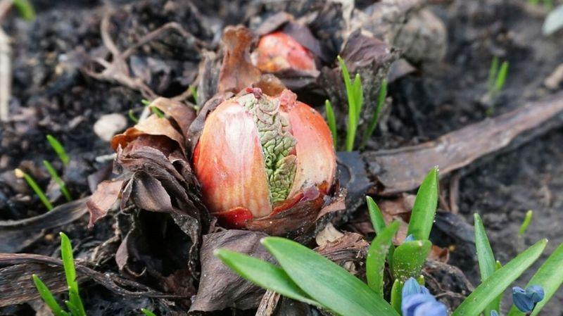 Rhubarb Springtime Growing April Rabarber