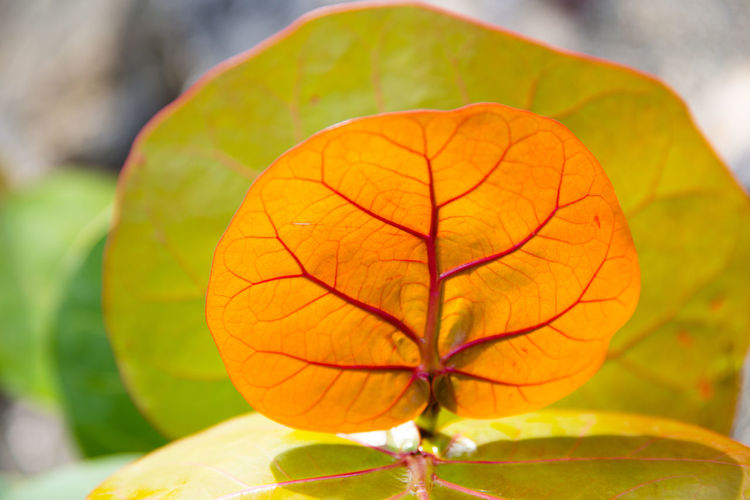 Close-up Plant Nature Leaf Freshness Fruit Focus On Foreground Food Flower No People Plant Part Flowering Plant Beauty In Nature Day Outdoors Orange Color Food And Drink Fragility Flower Head Orange Leaf Veins Blurred Background Sunlight