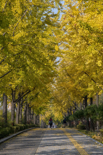 Rear view of person walking on road amidst trees during autumn
