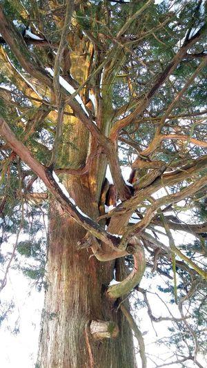 Old Cedar Trees Winter Snow Outdoors