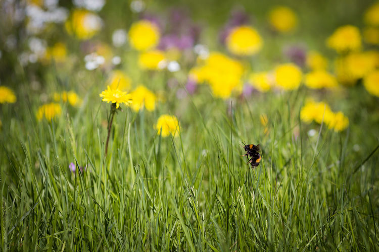 Humble bee and Dandelion ( Taraxacum officinale ) background Bumble Bumble Bee Bumblebee Grass Humble Bee Taraxacum Officinale Flower Taraxacum Officinale Bumble Bee 🐝 Bumblebee On Flower Garden Humble-bee Ouside
