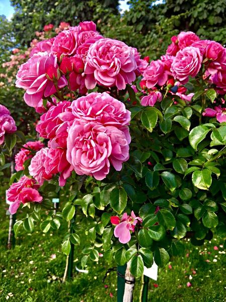Flower Flowering Plant Plant Pink Color Beauty In Nature Freshness Fragility Nature Inflorescence Flower Head No People Day Rosé Rose - Flower